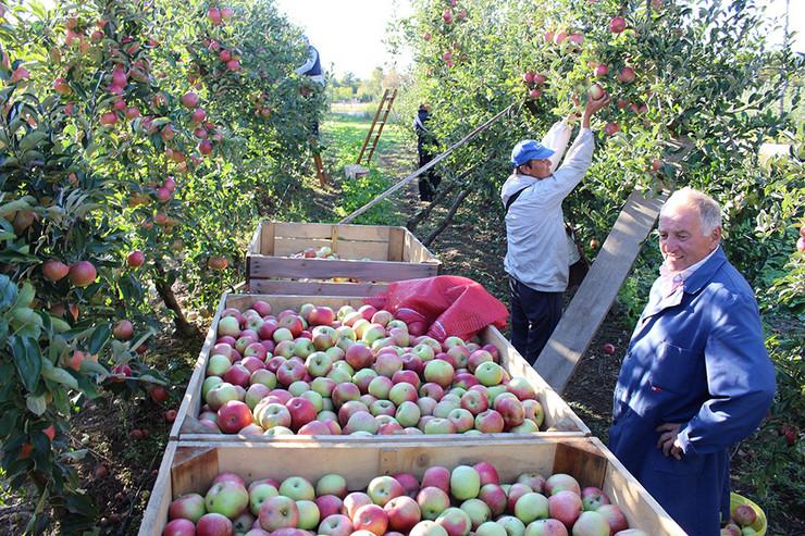 Dobar-rod-jabuke-u-Potkozarju-foto-Milan-Pilipovic