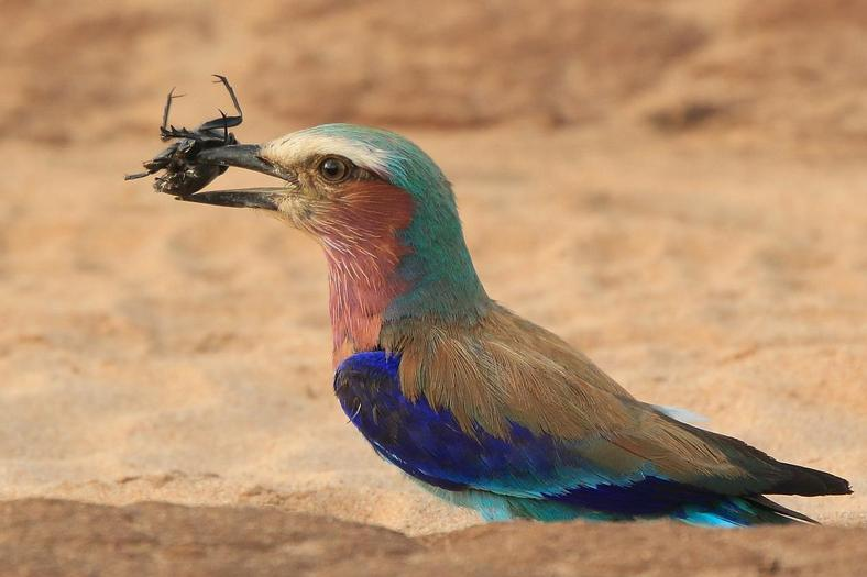 Lilac breasted Roller 33