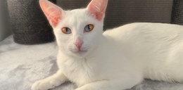 Ten kot oczarował wszystkich! Co on ma z oczami?