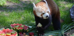 Urodziny pand rudych w Nowym Zoo