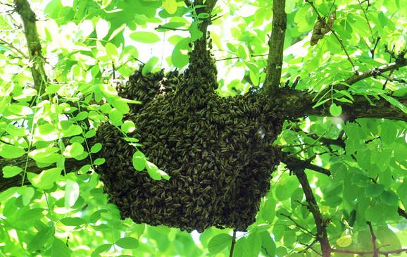 Rojevi mogu da broje i do 30.000 pčela