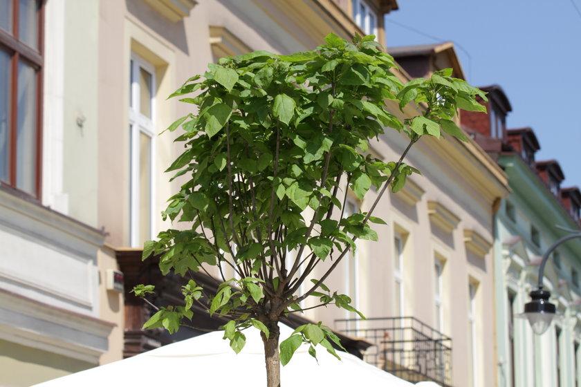 Drzewka w prokuraturze