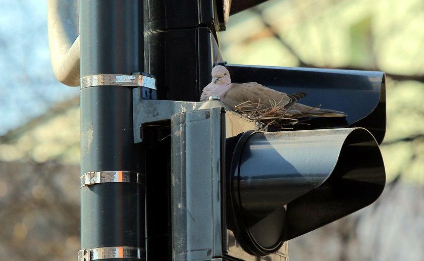Synogarlica uwiła gniazdo na sygnalizatorze świetlnym