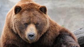 Niedźwiedź spacerował szlakami Babiej Góry