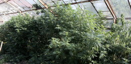 63- latek z Podgórza uprawiał marihuanę w szklarni