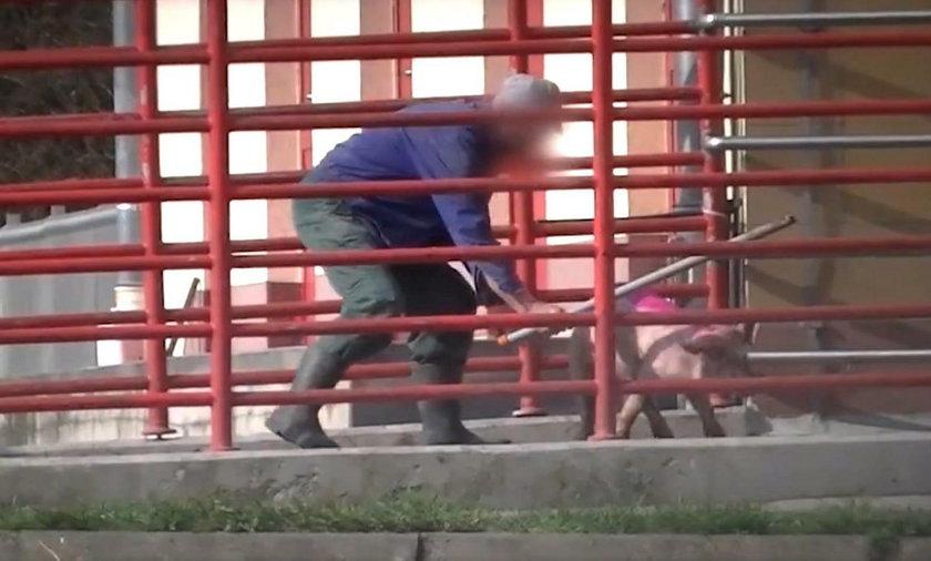 Aktywiści działający na rzecz zwierząt sfilmowali brutalne traktowanie zwierząt na terenie Agrofirmy w Witkowie