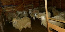 W Szczyrku znaleziono martwe owce