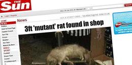 Szczur mutant. Jeszcze większy i grubszy! FOTO