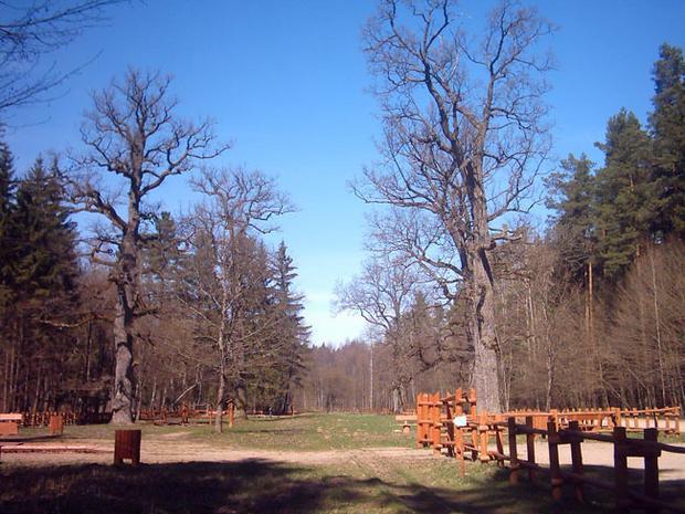 Szlak Dębów Królewskich, Białowieża