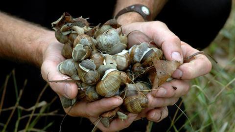 Ruszył sezon zbierania ślimaków w Polsce