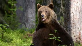 W Bieszczadach niedźwiedzie wciąż nie śpią