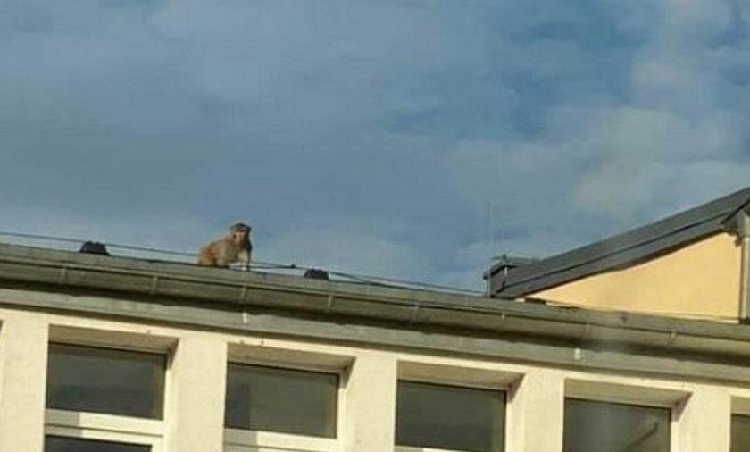 Małpa hasała po dachu zespołu szkół w Zgorzelcu.
