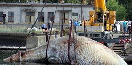 Martwy wieloryb dryfuje po Bałtyku