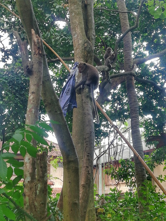 Tata orangutan sa plenom