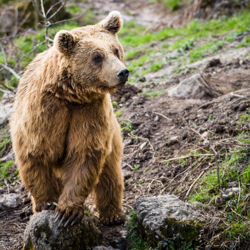Policja ostrzega. W Zakopanem znów grasuje niedźwiedź