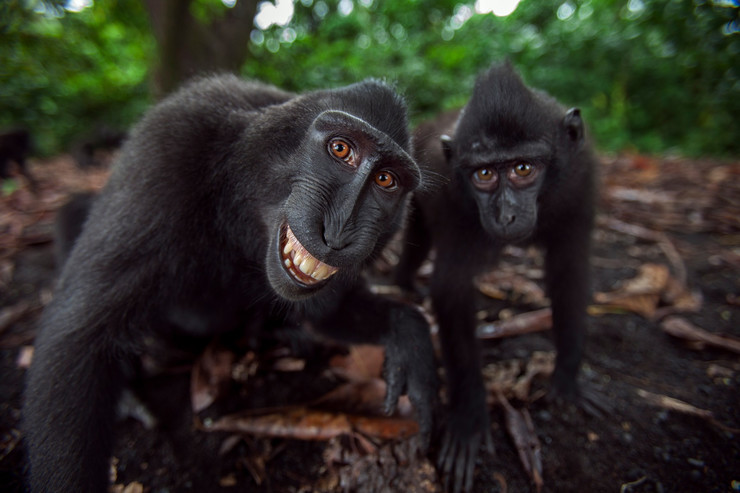 ćubasti makaki selfi06 foto profimedia