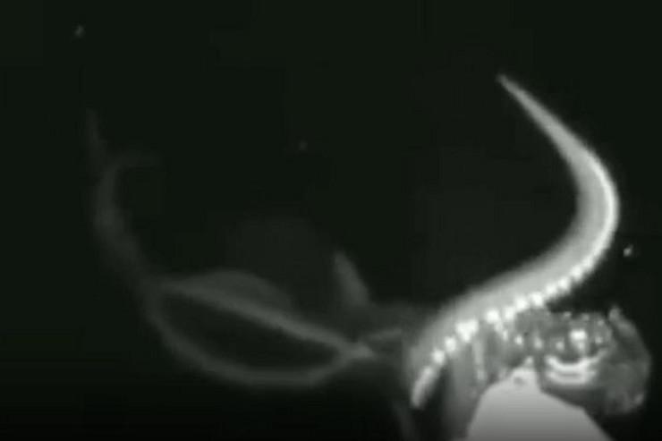 džinovska lignja02