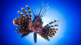 Inwazja jadowitej egzotycznej ryby w Morzu Śródziemnym