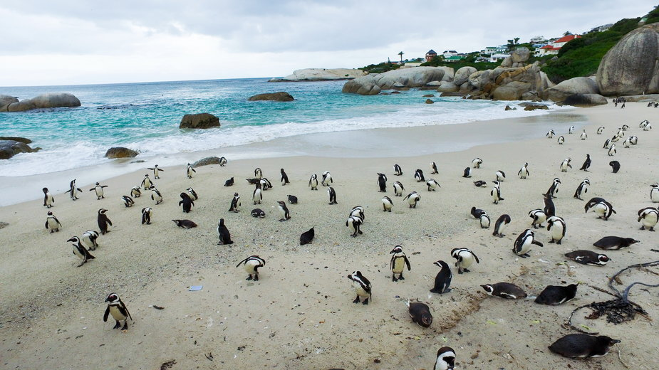 Zagrożone wyginięciem pingwiny zostały śmiertelnie zaatakowane przez pszczoły