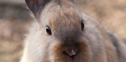 Masakra! Dziesiątki martwych królików!