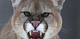 Uwaga! Puma grasuje koło Częstochowy