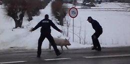 Wielka ucieczka małej świnki. FILM