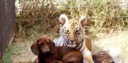 Szokująca przyjaźń wśród zwierząt