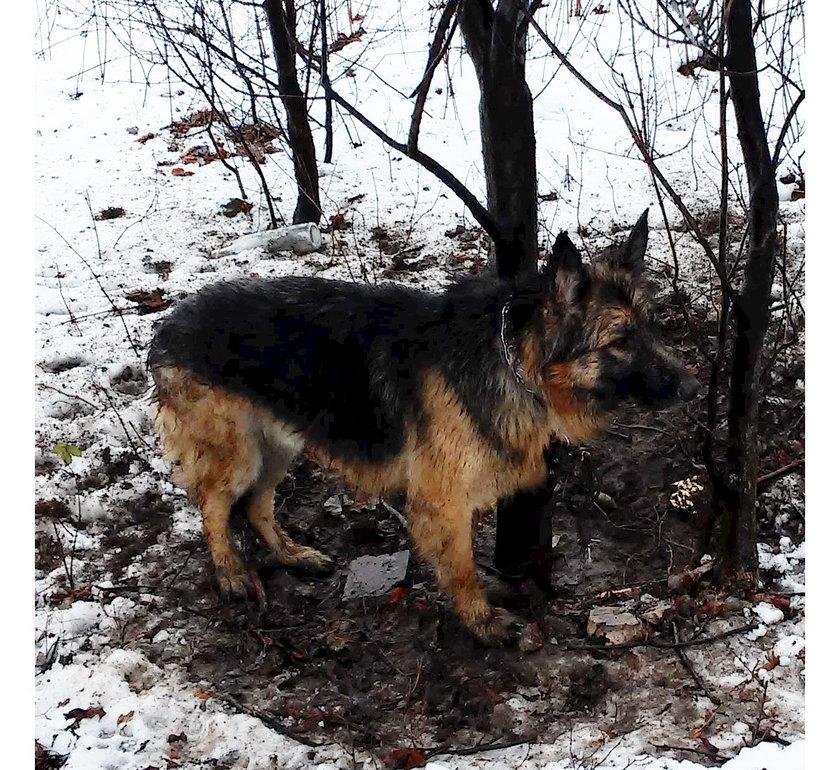 Owczarek porzucony w lesie