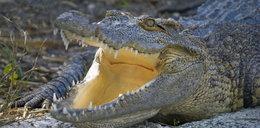 Szokujące! Używają aligatora, by ujawnić płeć dziecka