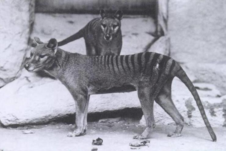 Tasmanijski tigar