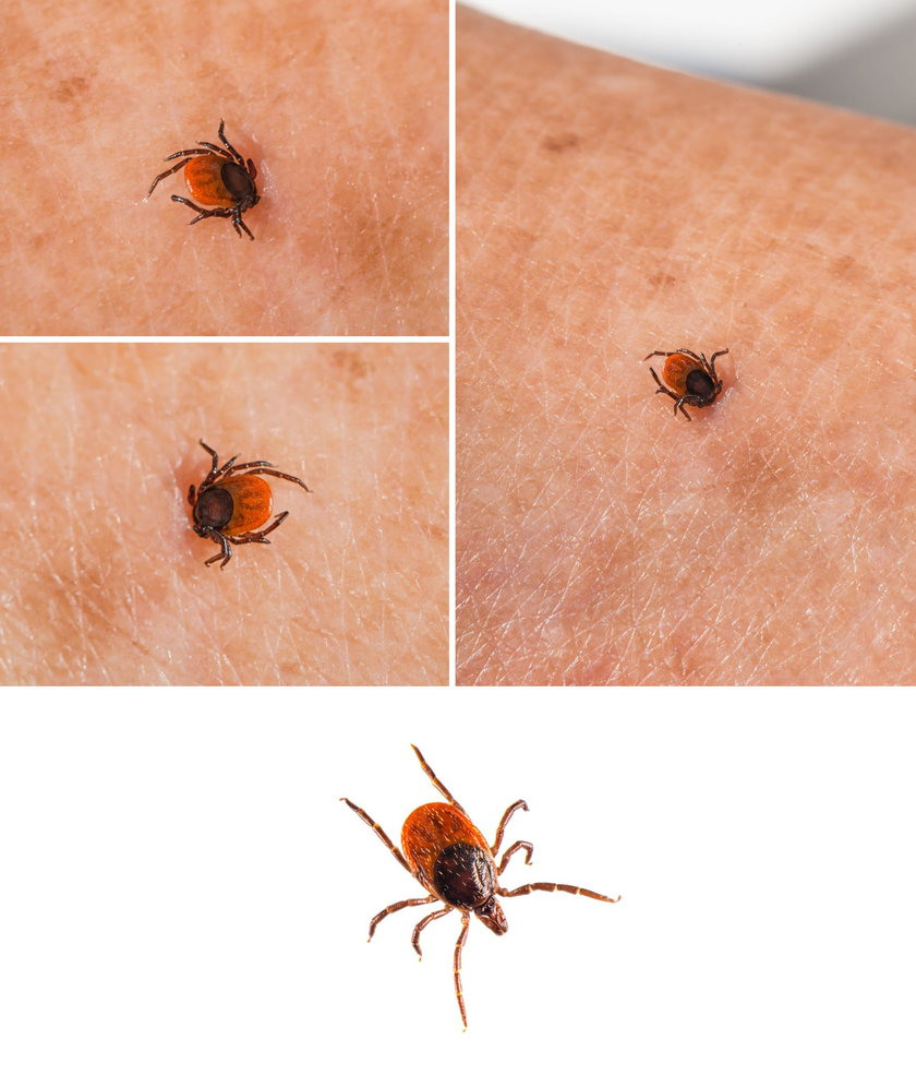 Hyalomma tick from Ixodidae family close