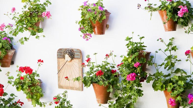 W całej Kordobie prezentowane są 52 patia. Największe zdobi 3 tysiące doniczek z pelargoniami, mniejsze - kilkaset kwiatów