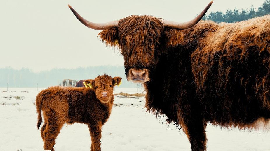 Highlander Cattle