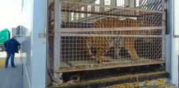 Dyrektor poznańskiego zoo o gehennie zwierząt. Nie dajcie umrzeć tygrysom