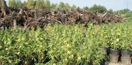 Gigantyczna plantacja konopi zlikwidowana
