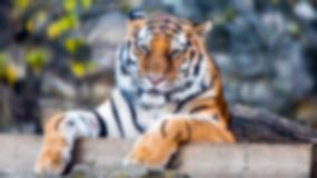 Chciał zaoszczędzić na bilecie i wspiął się na ogrodzenie zoo. Wskoczył do klatki tygrysów