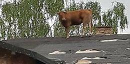 Rogata kaskaderka pasła się na dachu