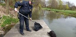 Lubelscy strażnicy miejscy uratowali bobra