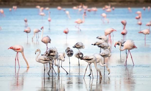 Flamingi, Słone Jezioro w Larnace