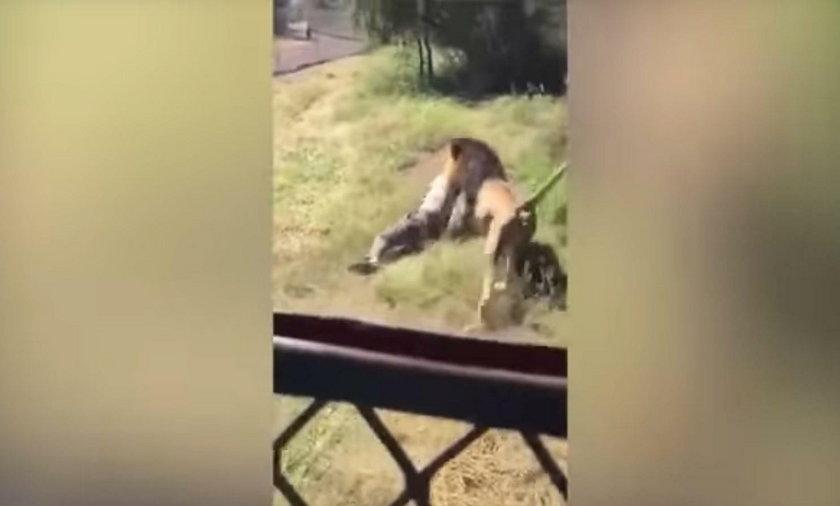 Lew zaatakował właściciela zoo. Drastyczny film