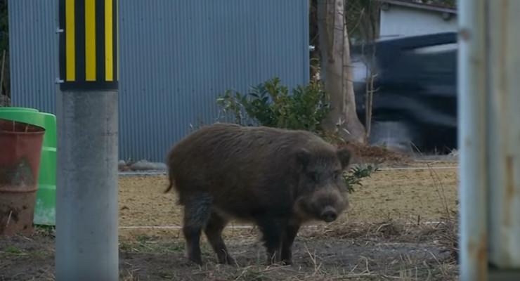 divlje svinje, fukušima
