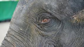 Białe skarpetki i pszczoły - czego boją się słonie?