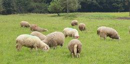 Stado owiec pożarło marihuanę wartą fortunę!