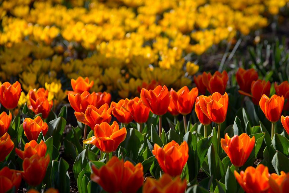 Ogród rozkwita wiosną ponad 7 milionami kwiatów cebulowych tulipanów, hiacyntów, krokusów i narcyzów.