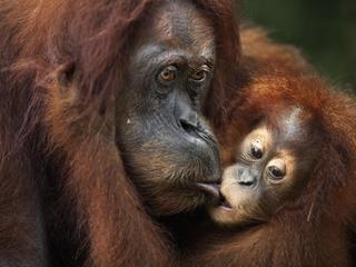 Sumatran orangutan (Pongo abelii) female baby 'Sandri' aged 1-2 years taking food from her mother 'S