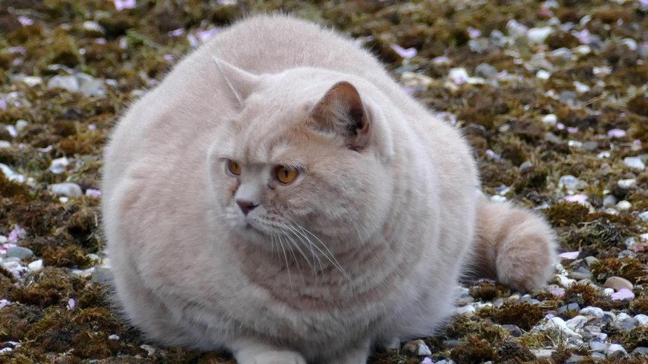Koty niewychodzące często mają dużą nadwagę - MrsBrown/pixabay.com