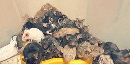 Kolejne mieszkanie pełne myszy! Ten sam sprawca?