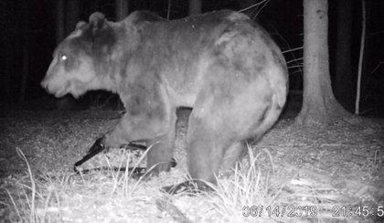 Niedźwiedź grasuje w Puszczy Białowieskiej
