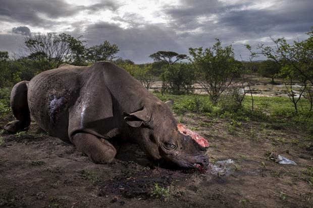 """Pomnik gatunku"", Brent Stirton, RPA"