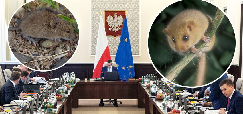 Małe gryzonie zagrały na nosie polskiemu rządowi. Stawką MILIARDY złotych!